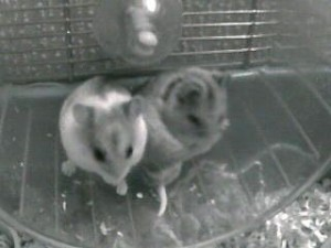 2 Chinese Hamsters